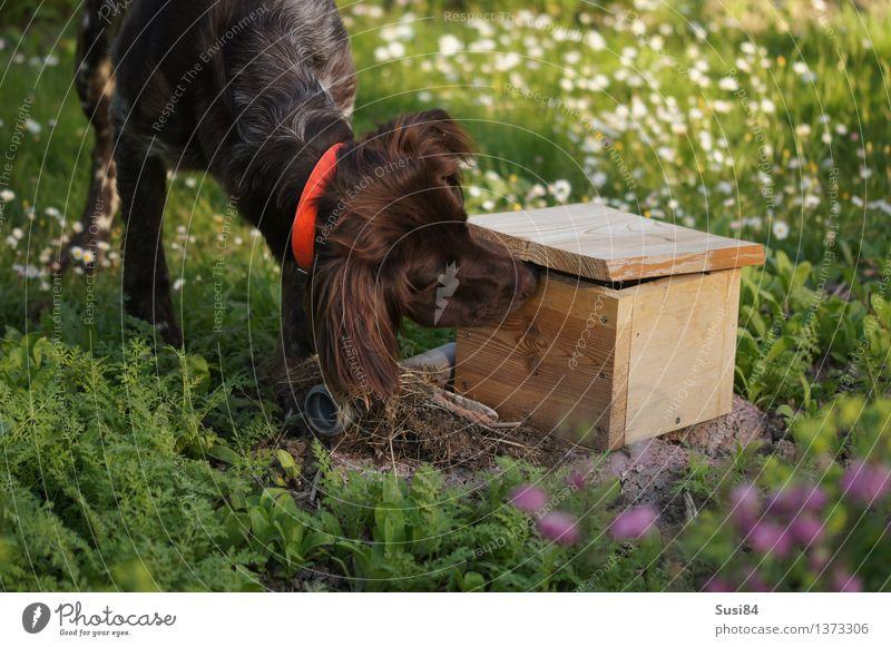 Neugierde im Frühling 1 Blume Gras Garten Haustier Hund Jagdhund Tier entdecken grün weiß Vorfreude Geruch Farbfoto Außenaufnahme Menschenleer