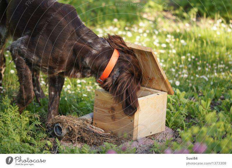 Neugierde im Frühling 2 Blume Gras Garten Wiese Haustier Hund Jagdhund 1 Tier natürlich braun grün weiß Begeisterung nachhaltig Farbfoto mehrfarbig
