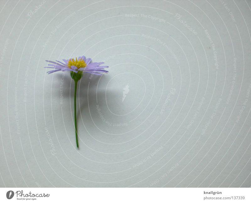 Schattenwerfer weiß Blume grün Pflanze gelb hell violett Gänseblümchen