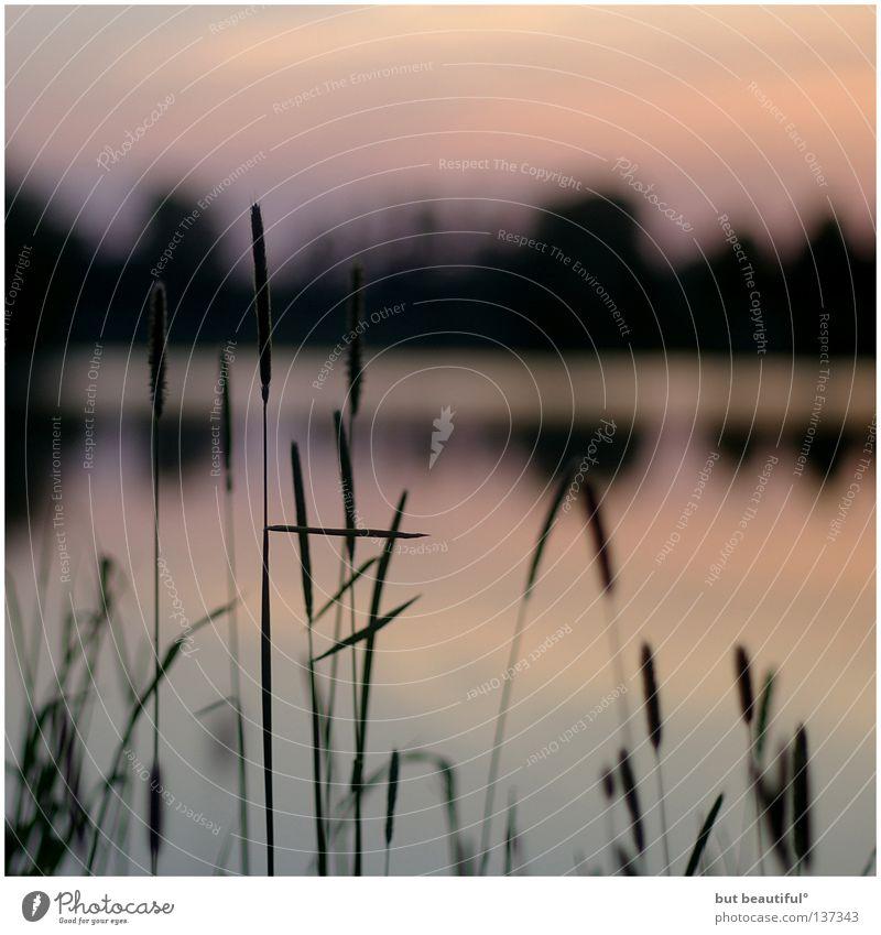 summernights° Abendsonne Dämmerung See Sommer Sommernacht Sonnenuntergang Obersee Schilfrohr Reflexion & Spiegelung Farbe Wärme