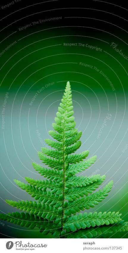 Hexenleiter grün dunkel Blattadern Echte Farne Pflanze Umwelt filigran zart feucht weich gefiedert frisch Wachstum Umweltschutz Botanik Biologie Reifezeit