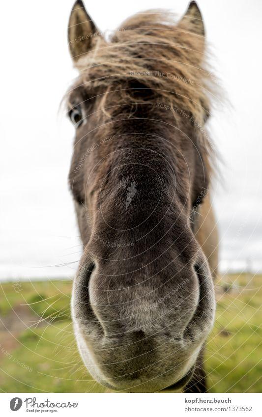 Nase vorne Island Tier Pferd Pony Island Ponys Isländer 1 atmen Küssen Blick Neugier Coolness Tierliebe Interesse Nüstern Nähe gucken Geruch Farbfoto