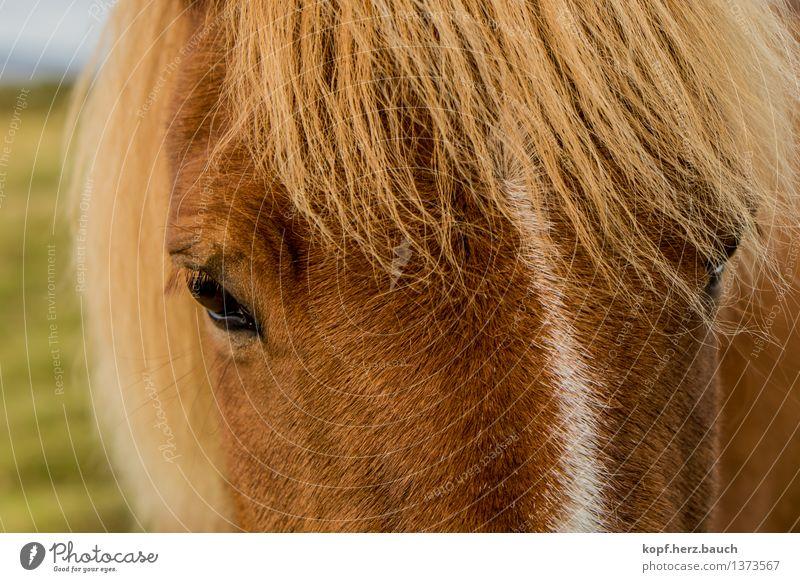 I´not a pony. Umwelt Tier Pferd Tiergesicht Island Ponys Isländer 1 Blick träumen blond schön braun gold Geborgenheit Sympathie Tierliebe Treue Romantik achtsam