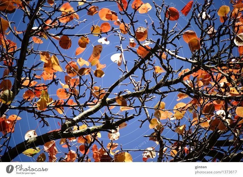 Herbstblätter Birnbaum Natur Pflanze Baum Blatt braun gelb gold orange Baumkrone Blätterdach Ussuri Birne Pyrus ussuriensis Jahreszeiten bunte Blätter Laubbaum