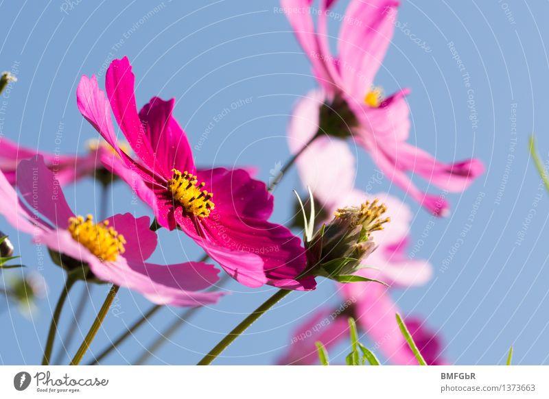 Blütentraum Himmel Natur Pflanze blau schön Farbe Erholung Blume Leben Gefühle Freiheit rosa Luft authentisch Fröhlichkeit