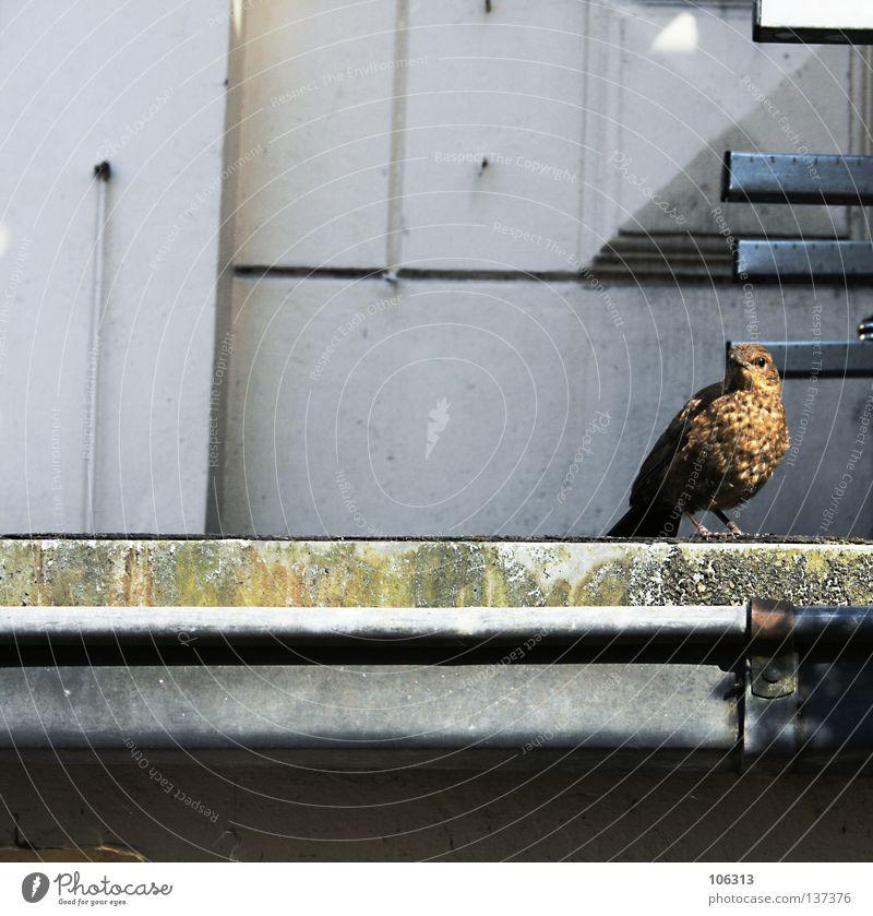 OBSERVE Vogel Haus krumm Tier stehen Blick bedrohlich gefährlich Beine Dach Stadt klein winzig braun Feder Lebewesen organisch fliegen beachten verfallen matz
