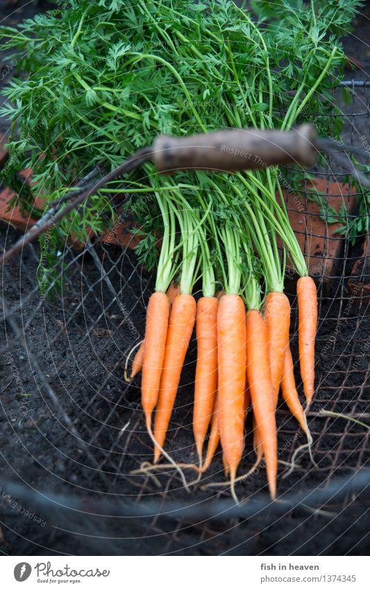 Möhren Pflanze grün Lebensmittel orange Feld Erde authentisch ästhetisch Ernährung einfach Gemüse lecker Bioprodukte nachhaltig Vegetarische Ernährung Beet