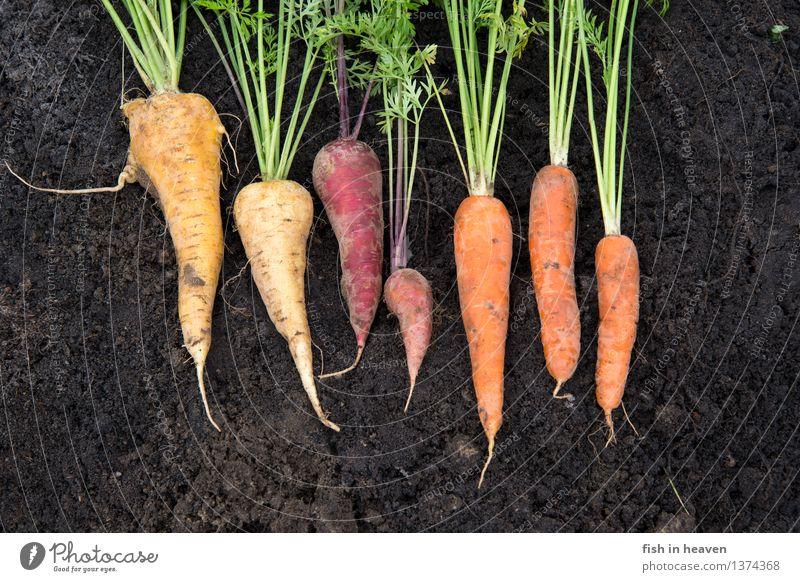 Möhren Natur Pflanze grün Farbe rot Umwelt gelb Garten außergewöhnlich Lebensmittel orange Feld Erde ästhetisch Ernährung Gemüse