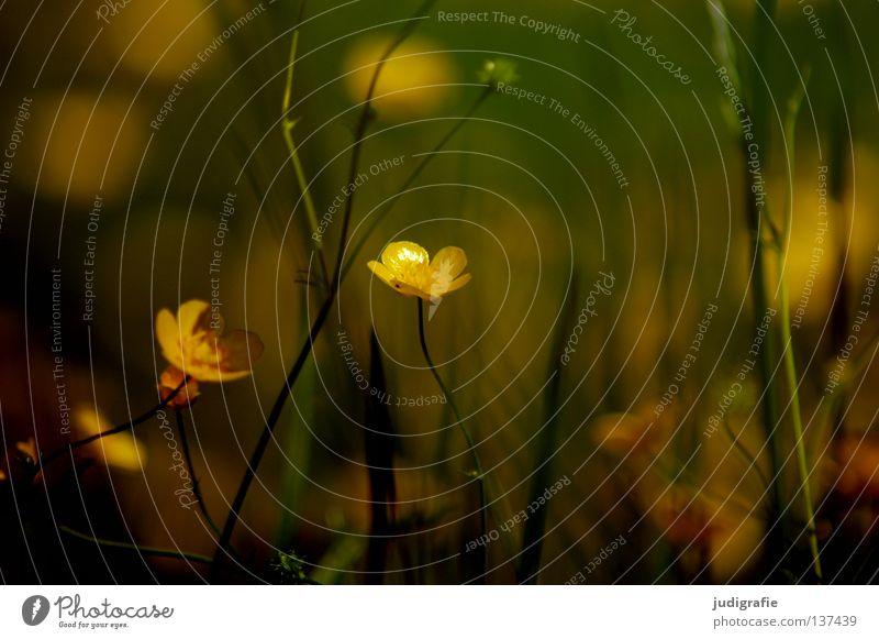 Wiese Natur Blume Pflanze Sommer Farbe Wiese Blüte Umwelt Wildtier Gift Heilpflanzen Hahnenfuß Unkraut Sumpf-Dotterblumen