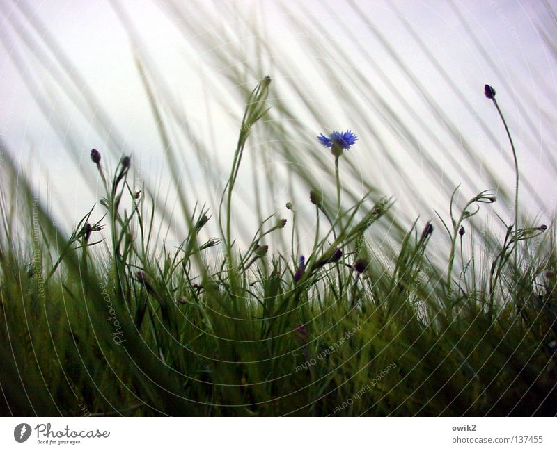Außenseiter Getreide schön Landwirtschaft Forstwirtschaft Umwelt Natur Landschaft Pflanze Frühling Wind Blüte Feld Bewegung Wachstum blau grün Idylle Leben