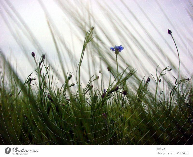 Außenseiter Natur blau grün schön Farbe Frühling Bewegung Blüte Luft Wetter Feld Wind Wachstum Landwirtschaft Getreide Jahreszeiten