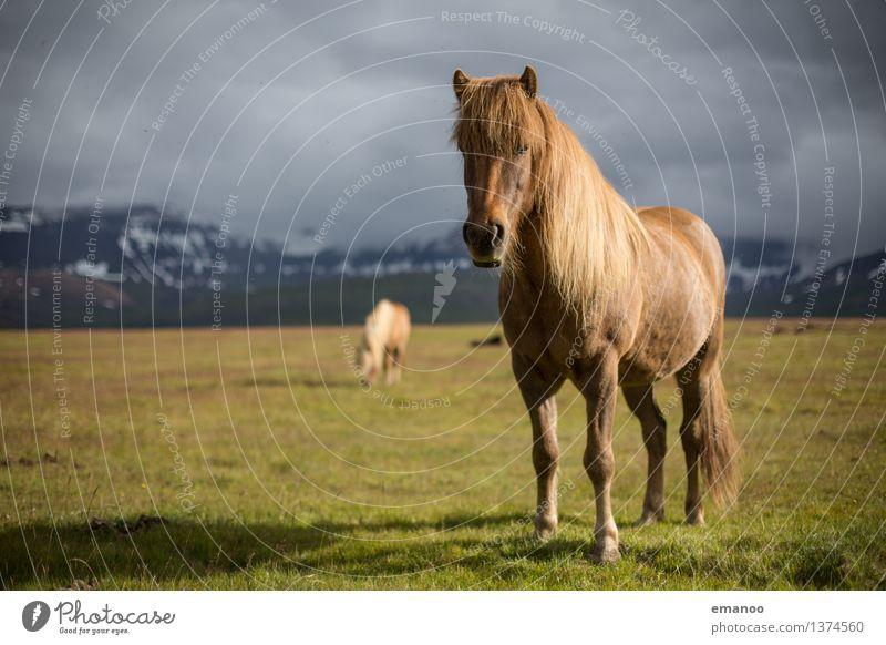 Der Isländer Ferien & Urlaub & Reisen Tourismus Ferne Freiheit Insel Berge u. Gebirge Natur Landschaft Himmel Wolken Klima Wetter Schnee Gras Wiese Tier