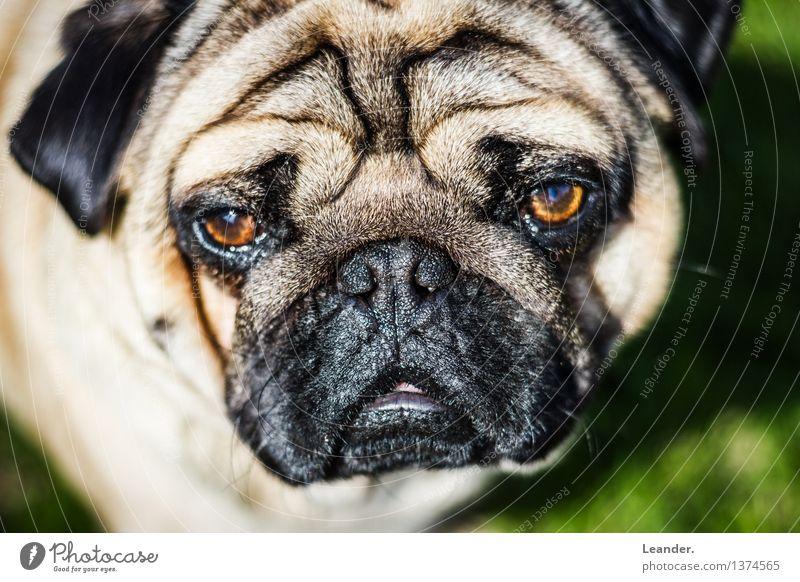 Mops Tier Haustier Hund 1 schön Blick Farbfoto Außenaufnahme Textfreiraum links Textfreiraum rechts Tag Licht Kontrast Sonnenlicht Unschärfe