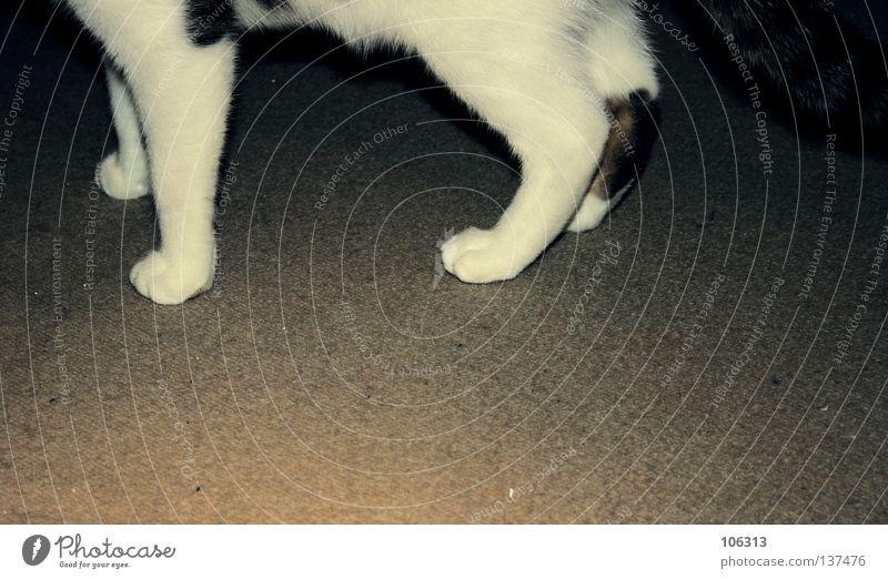 WALTER Katze alt weiß Tier grau Beine Fuß Laufsport tierisch Säugetier Hauskatze Teppich beige Fundament Gelbstich