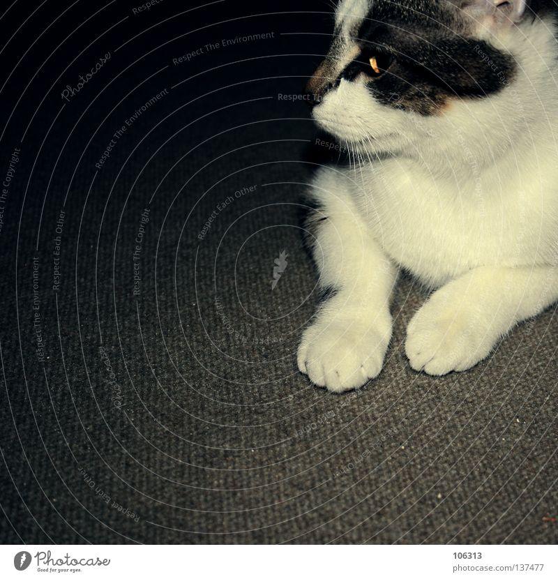 WALTER > Katze alt weiß Tier Erholung grau Beine Fuß sitzen warten Aktion beobachten Haustier tierisch Säugetier Hauskatze