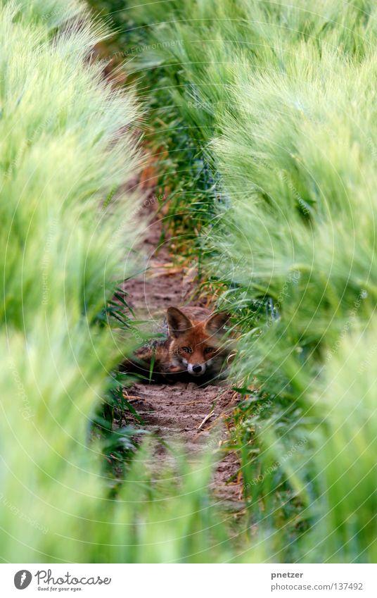 Fuxx Tier klein Angst Erde Feld liegen süß Ohr beobachten hören Landwirtschaft Wachsamkeit Geruch Säugetier Schnauze Schüchternheit