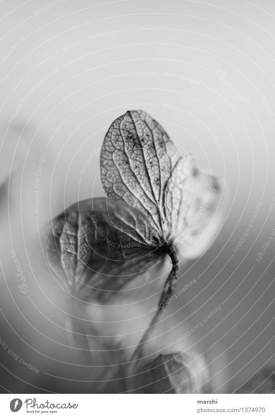 vertrocknet II Natur Pflanze Stimmung Hortensie Blüte Garten Schwarzweißfoto Detailaufnahme Blume Außenaufnahme Nahaufnahme Makroaufnahme Unschärfe