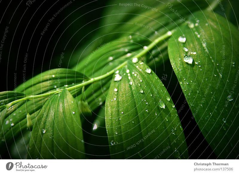 After The Rain Blatt Vielblütiger Weißwurz Salomonssiegel Botanik Pflanze Sträucher Biologie Umwelt grün Wassertropfen frisch Tau Sturm Physik Licht Lichtkegel