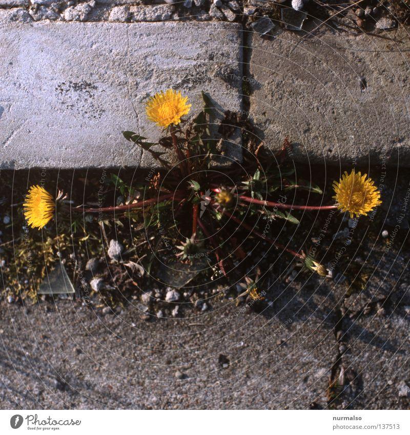 3erbande Blume Löwenzahn Bordsteinkante schön gelb Beton überall Furche Scherbe Am Rand Wegrand Kranz Kinderspiel Wiese Frühling Verkehrswege Peter Lustig