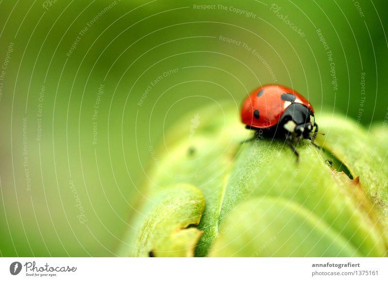 Marienkäfer Umwelt Käfer 1 Tier grün rot Farbfoto Makroaufnahme Textfreiraum links Textfreiraum oben Tag