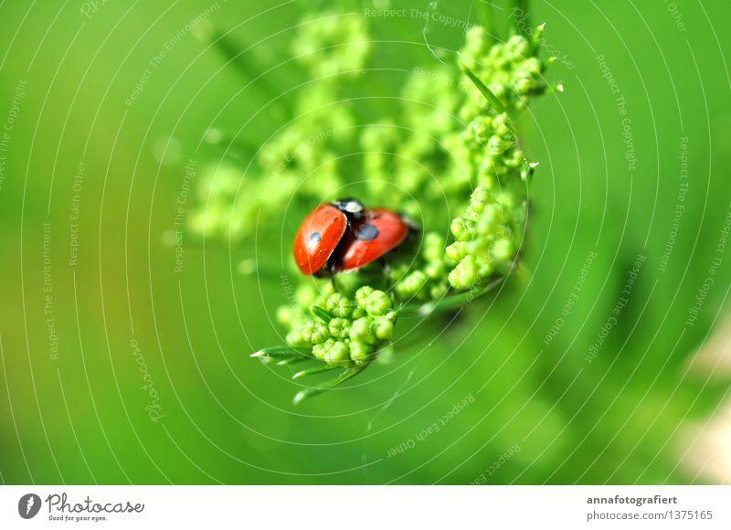 Käfer machen Liebe Natur Frühling Blatt Wiese Feld Garten 2 Tier Sex Glück grün rot Freude Zusammensein Tierliebe Romantik Erotik Begierde Lust Marienkäfer