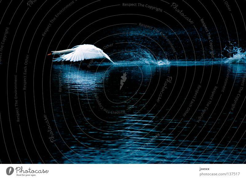 Angriff ist die beste Verteidigung Wasser weiß Tier See Vogel elegant Beginn Geschwindigkeit Macht bedrohlich Feder Flügel Wut Teich Hals edel