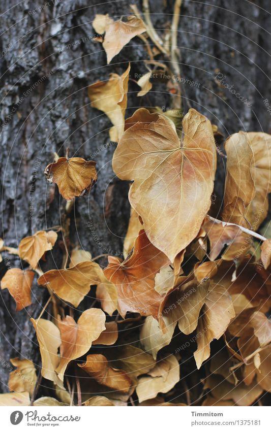 Ebbe war um sieben. Umwelt Natur Pflanze Herbst Baum Efeu Wald natürlich braun grau Gefühle Baumstamm Baumrinde vertrocknet Klarheit Tod Farbfoto Außenaufnahme