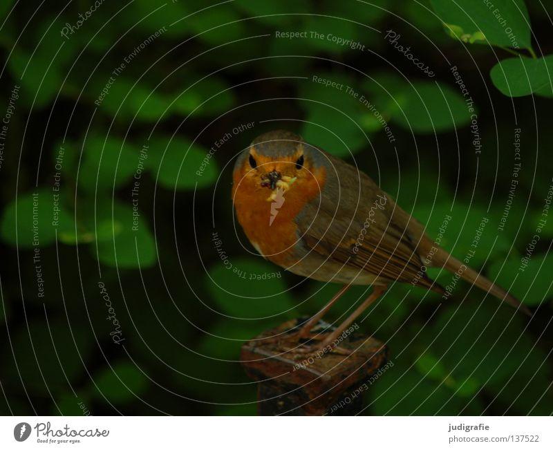 Futter Natur grün Sommer Farbe Leben Park Vogel klein Lebensmittel Umwelt Schnabel Wurm Rotkehlchen Fliegenschnäpper