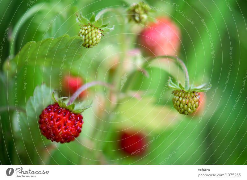 Erdbeere Natur Pflanze grün Farbe Sommer weiß Blume rot Blatt Blüte natürlich klein Garten Frucht wild frisch