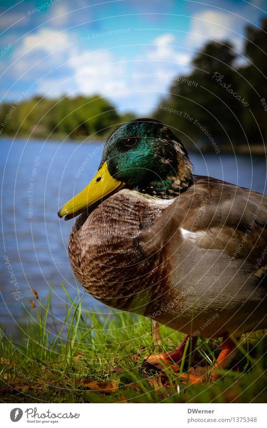 Ente Lifestyle Umwelt Natur Tier Wasser Wetter Schönes Wetter Gras Park Wiese Küste Seeufer Flussufer Teich Wildtier Erpel 1 sitzen natürlich schön mehrfarbig