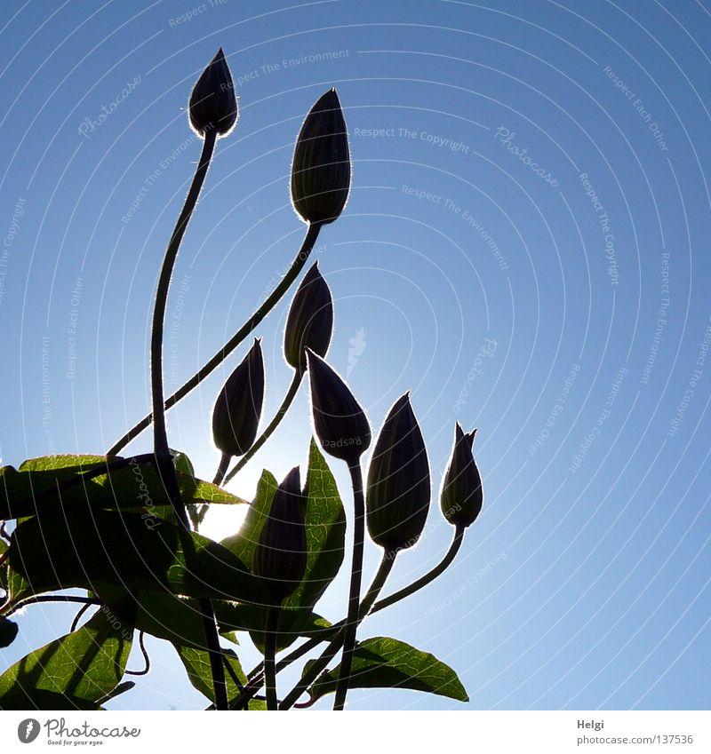 im Gegenlicht... Natur Himmel Sonne Blume grün blau Pflanze Wand Blüte Frühling Park braun Beleuchtung hoch Wachstum dünn