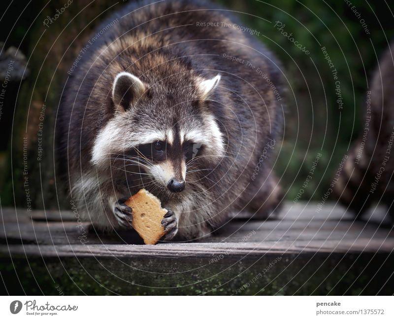schnurps Natur Tier Wildtier 1 Holz Essen genießen Freundlichkeit Fröhlichkeit lustig nah niedlich Gelassenheit Waschbär Zwieback Backwaren Pfote drollig