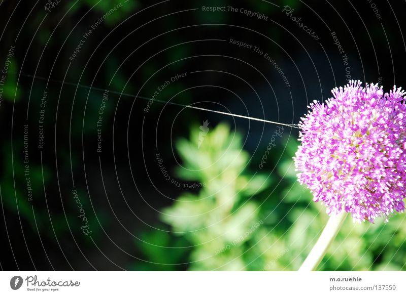 an seidenem faden Natur Blume Sommer Kraft violett Stengel Seide Spektakel