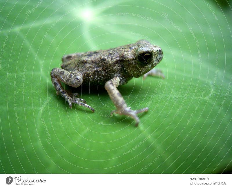 kleiner Frosch Blatt Frosch
