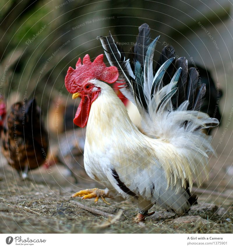 King of the Roost Tier Nutztier Hahn Tiergruppe gehen laufen Stolz mehrfarbig König maskulin Haushuhn Landwirtschaft Bauernhof Geflügelfarm Glück freilaufend