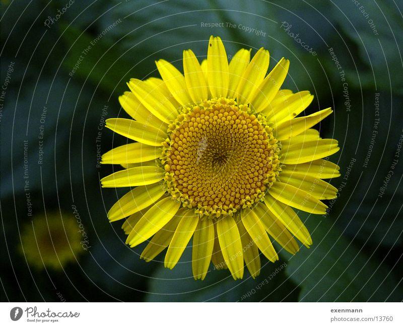 Blüte Blume Spirale Nahaufnahme