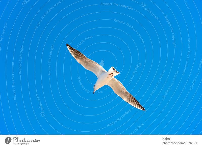 Lachmöwe beim Flug Tier Ostsee Wildtier Vogel 1 fliegen maritim blau Möwe Himmel einzeln Stack Höft Kribbe Schlenge Osstee Polen Farbfoto Außenaufnahme