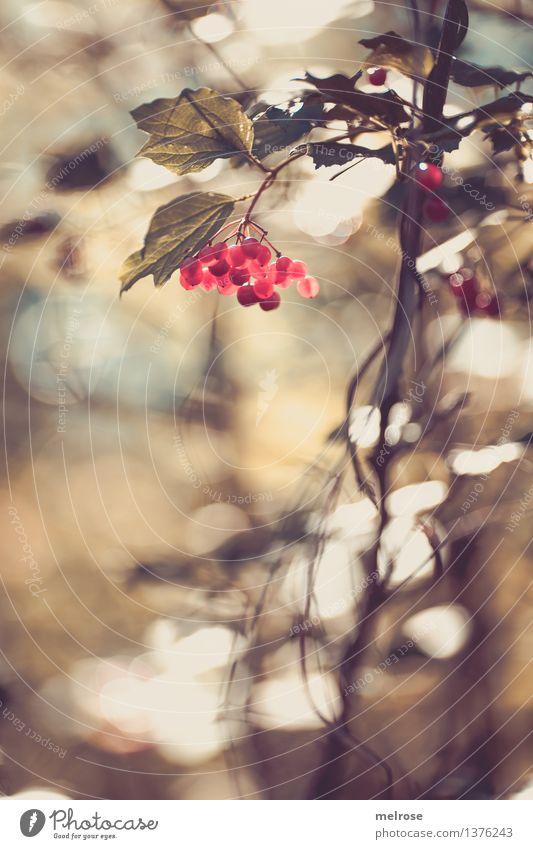 P U N K T E elegant Stil Natur Herbst Schönes Wetter Pflanze Sträucher Blatt Wildpflanze Beerensträucher Frucht Zweige u. Äste Wald Unschärfe Lichtpunkt