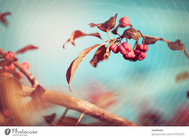 ab ins BLAUE ... elegant Stil Natur Himmel Sonnenlicht Herbst Schönes Wetter Pflanze Sträucher Wildpflanze Beerensträucher Pfaffenhütchen Blätter Zweige u. Äste