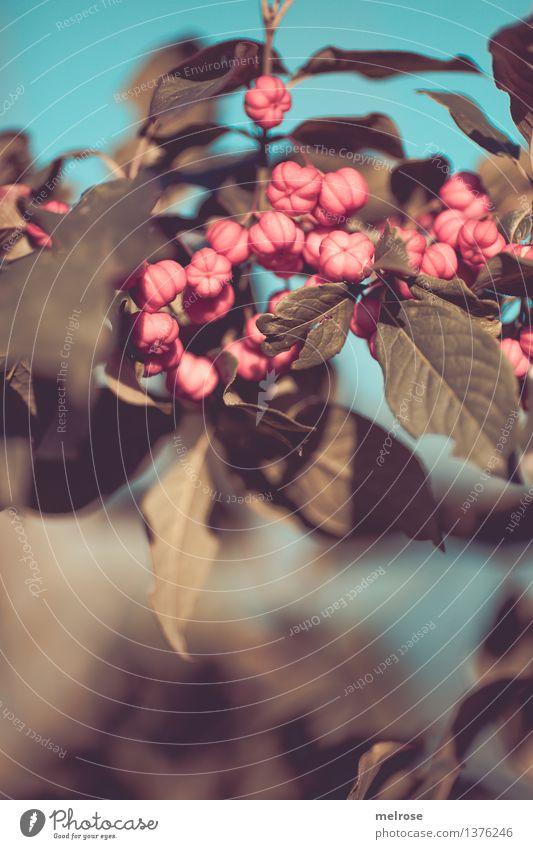 """Pfaffen-""""Herzen"""" Himmel Natur Pflanze grün schön Farbe Blatt Blüte Herbst Stil Stimmung rosa träumen Design Feld Wachstum"""