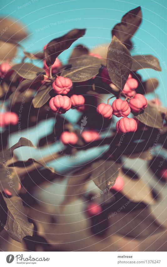 """Pfaffen-""""Herzen"""" II elegant Stil Natur Himmel Herbst Schönes Wetter Pflanze Sträucher Blatt Blüte Wildpflanze Pfaffenhütchen Pfaffenherzen Beerensträucher Feld"""