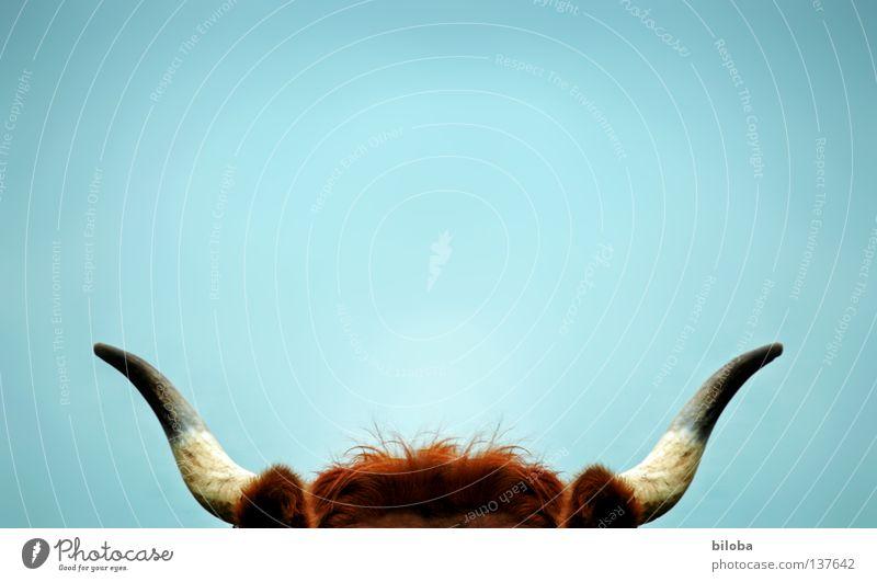 Auf die Hörner nehmen Tier kalt Gras braun nass vorwärts Kuh Horn atmen anstrengen Schnauze Kalb Bulle Vieh Butter Milchkuh