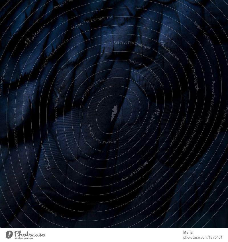 Gefieder I Tier Vogel Rabenvögel Feder gefiedert 1 dunkel nah natürlich schwarz Farbe Perspektive rein Niveau aufeinander Farbfoto Nahaufnahme Detailaufnahme