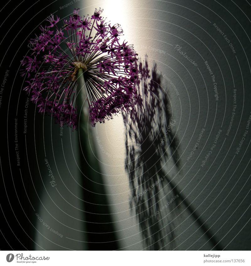 brandenburg flower Blume Stengel Blüte Licht Wachstum Reifezeit violett Wand grün Pflanze zierschnittlauch Schatten Dekoration & Verzierung Porree kallejipp