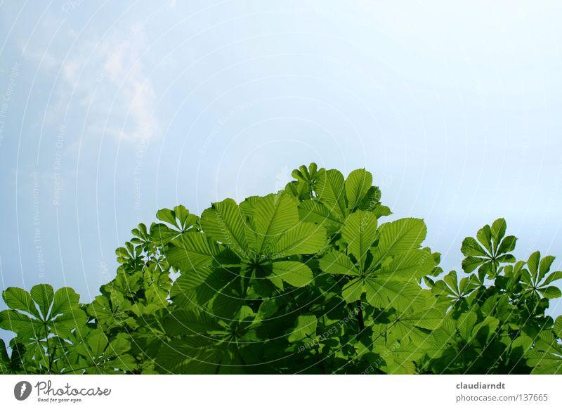 Quietschgrün Natur grün Sommer Blatt Leben Beleuchtung Perspektive Dekoration & Verzierung Rahmen Kastanienbaum Laubbaum Borte durchleuchtet Kastanienblatt