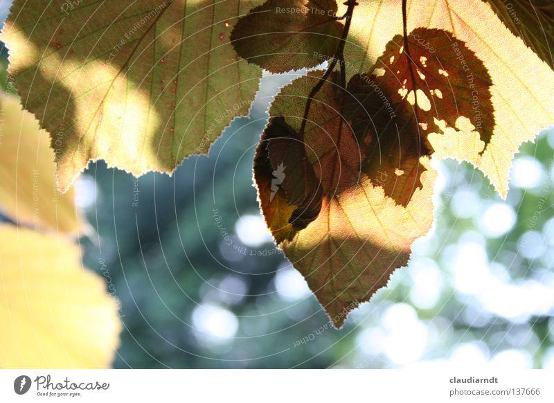 Schattenkino Natur grün Sommer Blatt Leben Beleuchtung Wut Idylle durchsichtig Silhouette Laubbaum Buche Schädlinge Sommerabend durchleuchtet Rotbuche