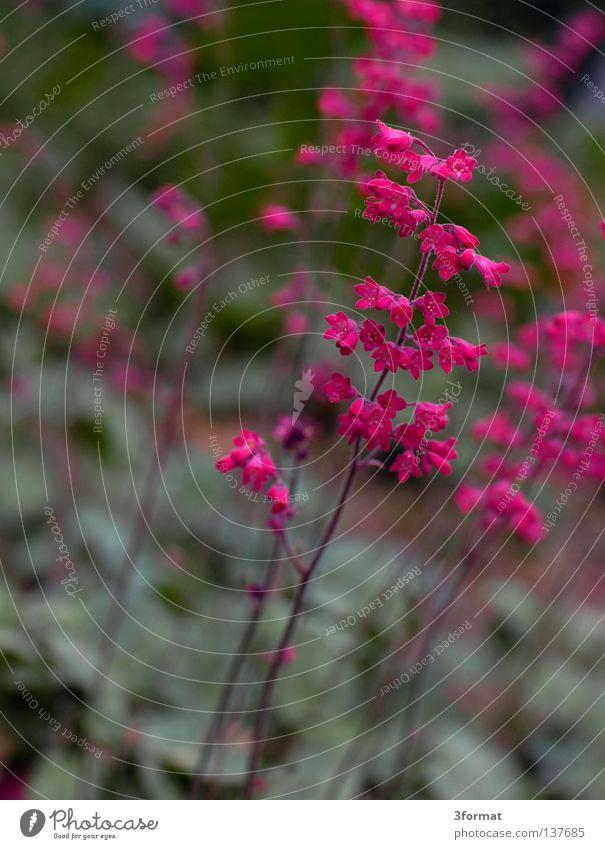 japanisch Natur grün Pflanze Blume Leben grau Blüte Frühling Park rosa glänzend Beginn mehrere verrückt Bodenbelag viele