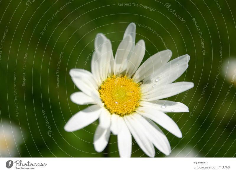 Sie liebt mich, sie liebt mich nicht... weiß Blume gelb Seil Margerite