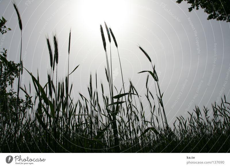 in der Mittagspause Weizen Gegenlicht Feld Landwirtschaft Ackerbau Reifezeit Aussaat Mehl Ernährung Ähren Licht Schwarzweißfoto Getreide Wachstum Ernte