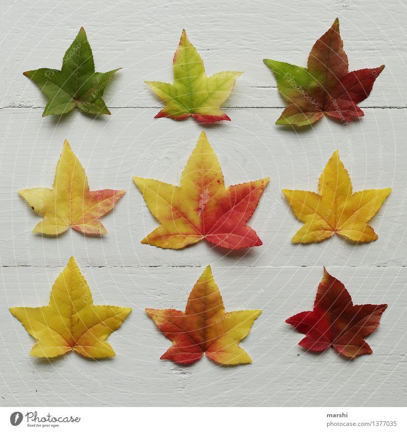 der Herbst ist bunt Natur Pflanze Blatt Garten Stimmung Jahreszeiten Super Stillleben mehrfarbig gelb rot Ahorn Sträucher arrangiert grün herbstlich Farbfoto